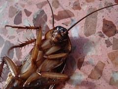 ゴキブリ画像ー1