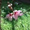 うるま市の桜