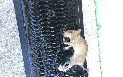 捕らえられたクマネズミ