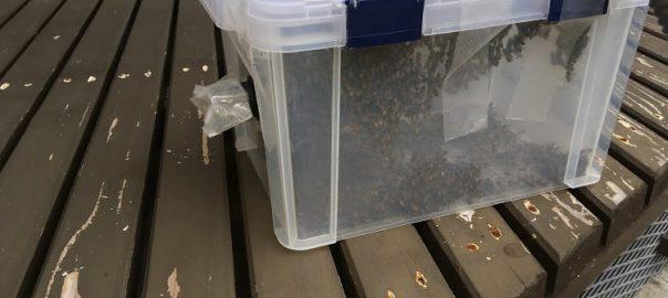 ミツバチ捕獲の様子